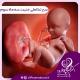 سیر تکاملی جنین، سه ماه سوم
